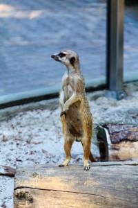 Ask the Meerkat